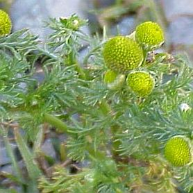 Chamomile's Wild Cousin, Pineapple Weed