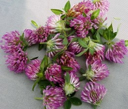 Sun Drying Red Clover