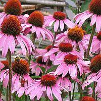 Herbs To Avoid If You Have Autoimmune Disease Cloverleaf