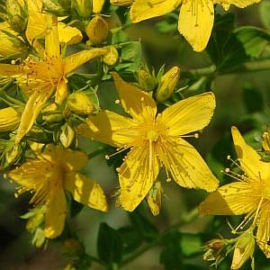 St. John's Wort herb, one of our top ten favorite herbs