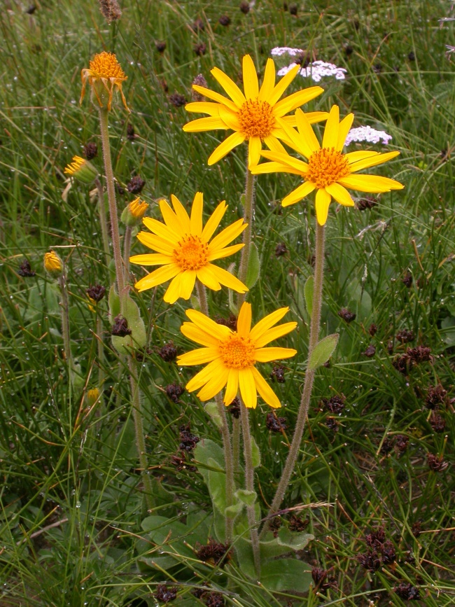 Arnica Montana – Why We Use It