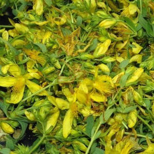 Freshly picked St. John's Wort flower ready to be processed.