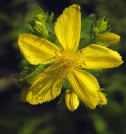 Drug Interactions of St. John's Wort Herb