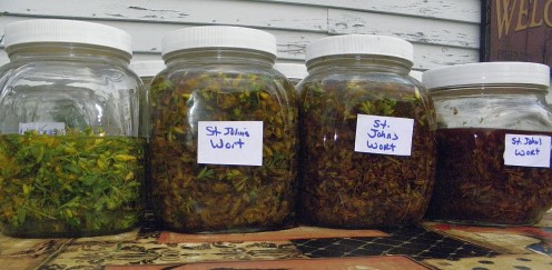 Stages of infusing fresh St. John's Wort flower into oil.