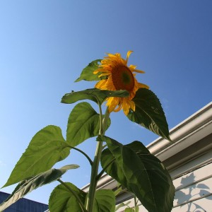 Sunflower reaching for the sky