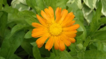 How To Grow Calendula