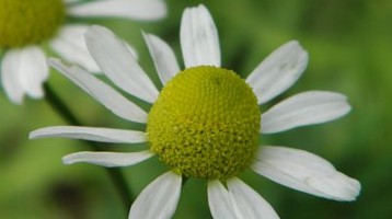 The Skin Healing Powers of Chamomile