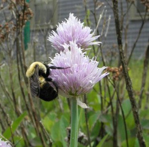 bumble bee on chive