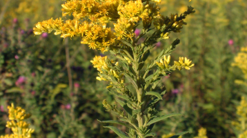 Healing Benefits of Goldenrod
