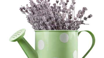 Lavender in watering can