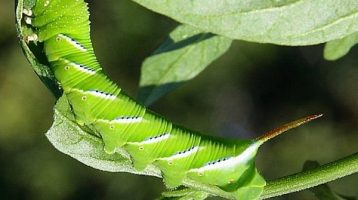 Natural Ways To Rid Your Garden of Tomato Hornworms